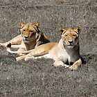 Two Lionesses by DPalmer