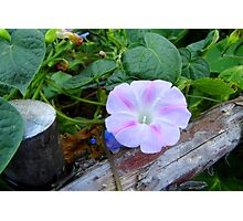 Shades of a Morning glory Photographic Print