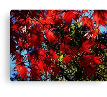 Maple In Bloom Canvas Print