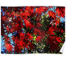 Maple In Bloom Poster