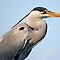 Grey heron by kilmann