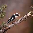 Male Downy by Gregg Williams