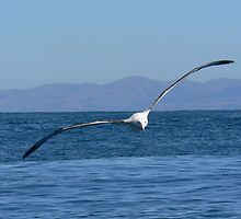 Albatross In Flight by Larry Lingard-Davis