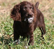 Boykin Pup After First Dove Retrieved by Pamela Kadlec