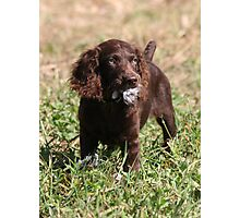Boykin Pup After First Dove Retrieved Photographic Print