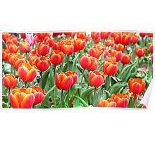 a field of orange tulips Poster