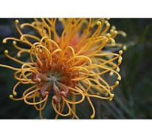 Orange Grevillea Flower Photographic Print