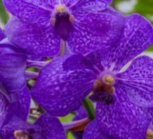 Purple Orchids Sticker