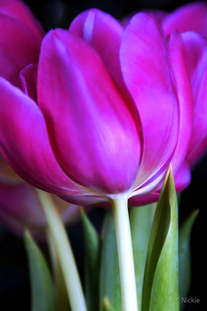 Pink Tulips  by Nickie