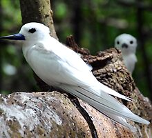 Seychelles white bird by Monica Di Carlo