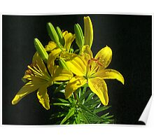 Asiatic Lily (Yellow) Poster