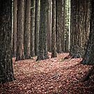 red woods 1 by angelo marasco