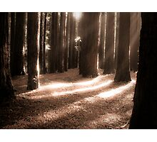 red woods 6 Photographic Print