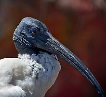 Ibis by gamaree L