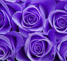 purple roses by jon  daly
