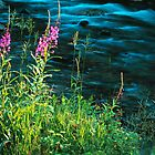 FIREWEED by Chuck Wickham