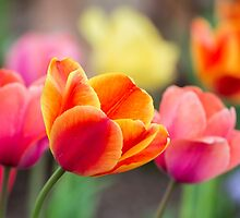 Colorful Tulips by Kenneth Keifer