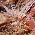 Juvenile Lionfish by Erik Schlogl