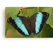 Richard's Morpho Butterfly Canvas Print