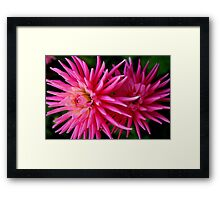 Two Pink Dahlias Framed Print