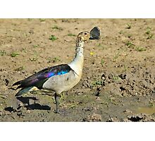 Knob-billed Duck - Funny and Beautiful Nature Photographic Print