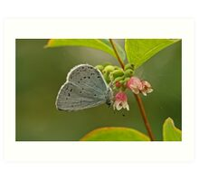 Holly Blue Butterfly Art Print