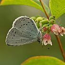 Holly Blue Butterfly by Robert Abraham