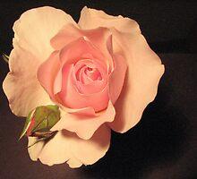 Pink rose on black background by Karen Doidge
