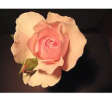 Pink rose on black background Photographic Print