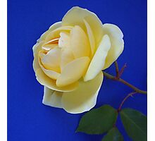 Yellow rose on blue background Photographic Print