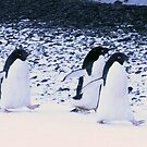 Adelie penguins waddling by cascoly