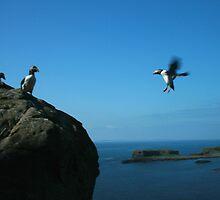Puffin landing by Fiona MacNab