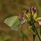 Brimestone Butterfly by Robert Abraham