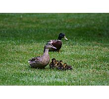 Mother & Father Duck w/ babies Photographic Print