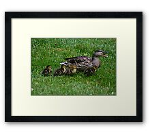 Mother Duck w/ babies Framed Print