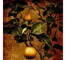 Bonsai Pear Photographic Print