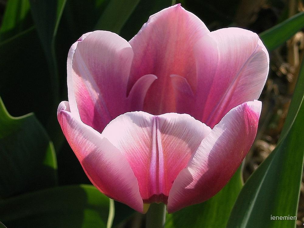 Pink Tulip by ienemien