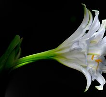 SIMPLICITY - THE SPIDER LILY by Magaret Meintjes