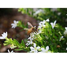 Bee Gathering Pollen no.2 Photographic Print