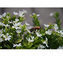 Bee Gathering Pollen no.1 Photographic Print