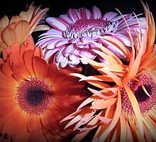 Radiance of Gerberas by JuliaWright