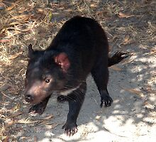 Tasmanian Devil. by nJohnjewell