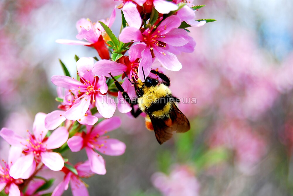 Spring lover by Thushan Sanjeewa