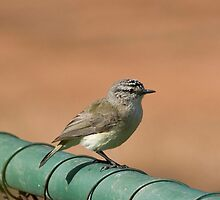Yellow Rumped Thornbill by inAWE