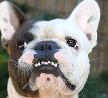 "French Bulldog, Swifty Star Boy, ""Snot"" by dolnonsporting"