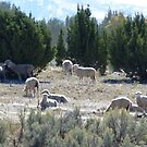 Sheep among the Junipers by BrianAShaw