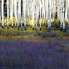 Aspen Trunks and Purple Meadow by BrianAShaw