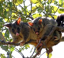 Possums by petographer