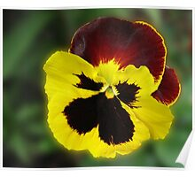 Little Treasure - Sunlit Amber and Gold Pansy Poster