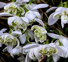 Woodland snowdrops by Violaman